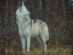 wolf19.jpg